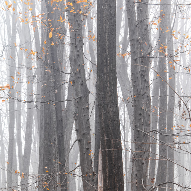 """Misty Autumn Forest"" stock image"
