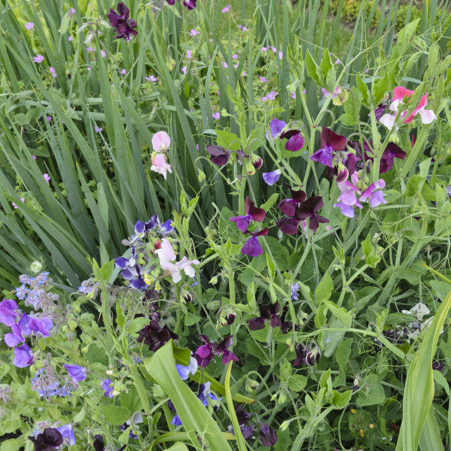 """Sweet pea (Lathyrus odoratus)"" stock image"