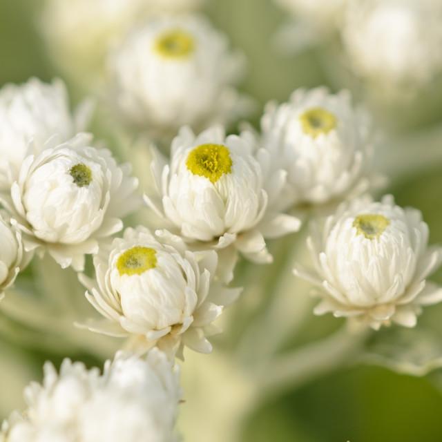 """Triple-veined pearly everlasting (Anaphalis triplinervis 'Sommerschnee')"" stock image"