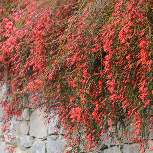 """Firecracker plant (Russelia equisetiformis)"" stock image"