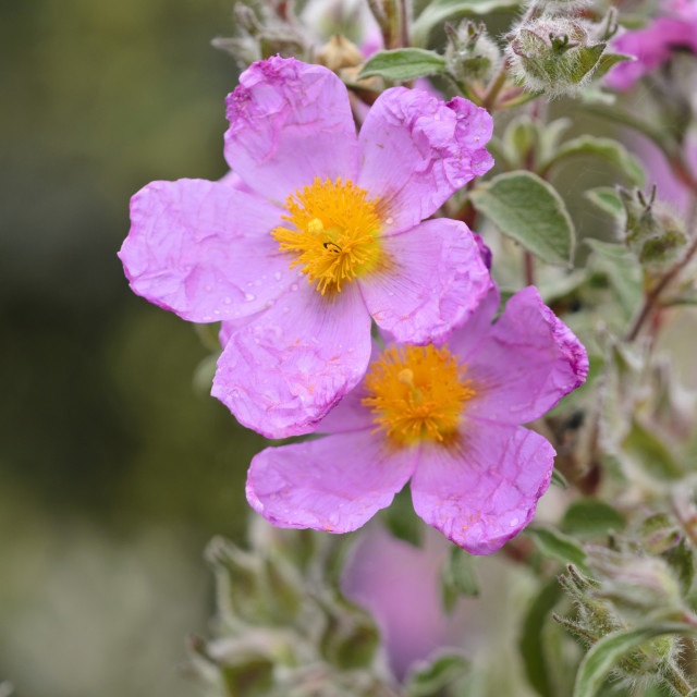 """""""Cretan rock rose (Cistus creticus)"""" stock image"""