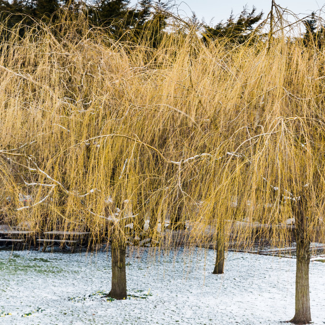 """Willows"" stock image"