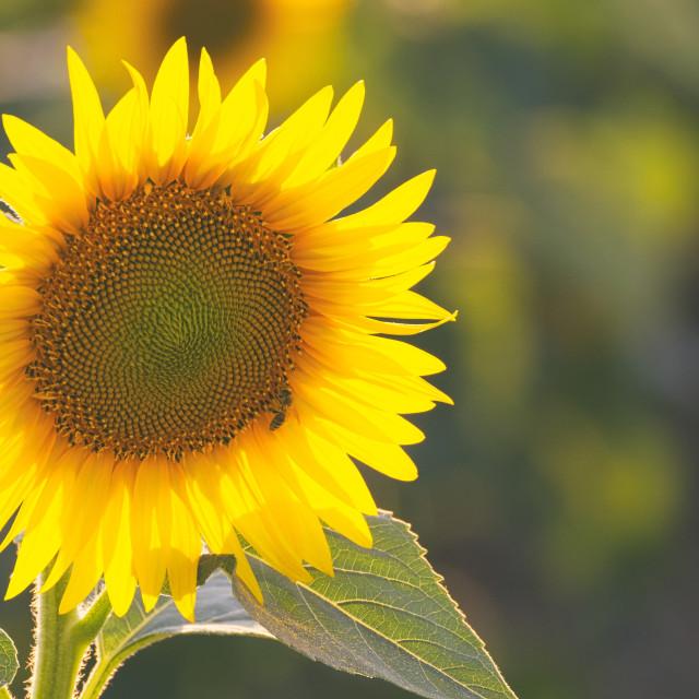 """Single Yellow Sunflower"" stock image"