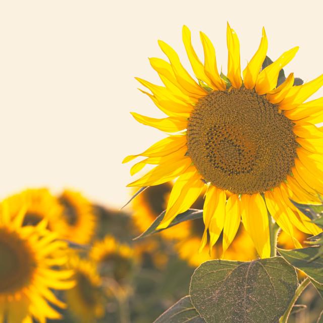 """""""Bright Yellow Sunflowers"""" stock image"""
