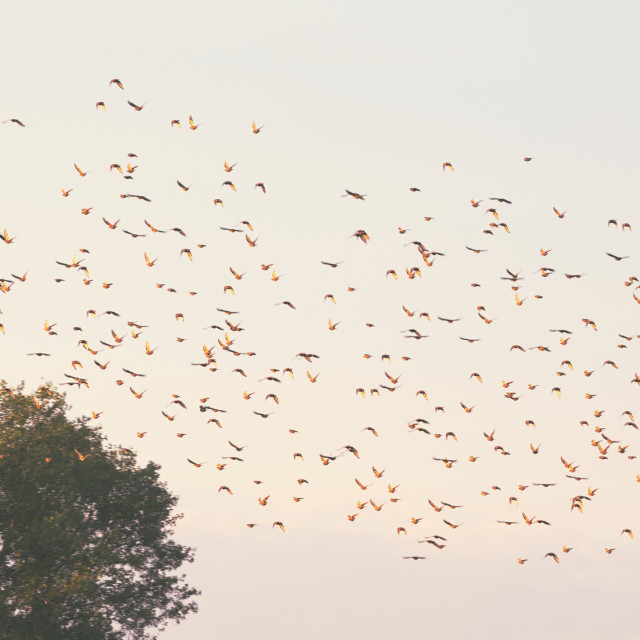 """Flock of Birds Flying"" stock image"