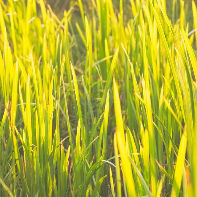 """Bright Green Carex"" stock image"