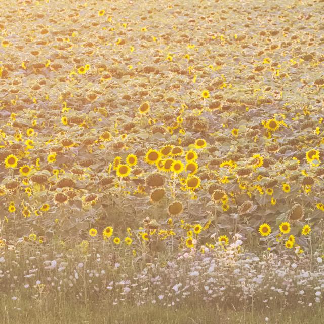 """Summer Sunflower Field"" stock image"