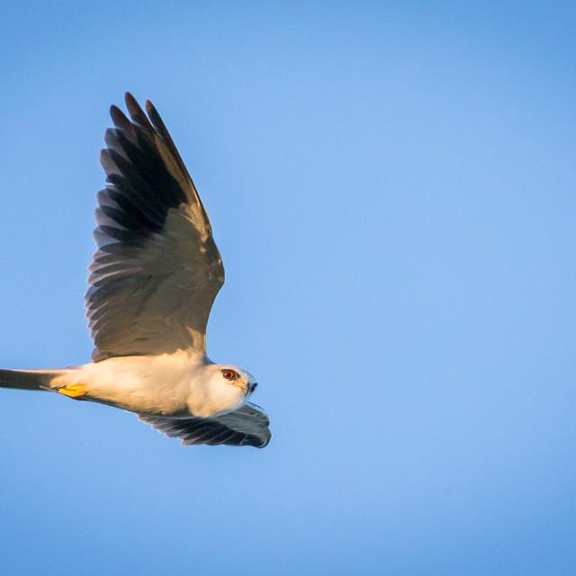 """The white-tailed kite (Elanus leucurus)"" stock image"