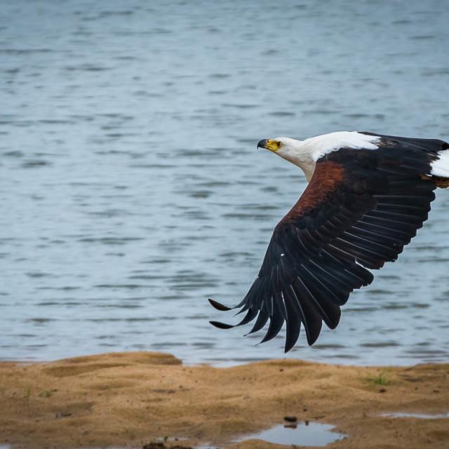 """The African fish eagle (Haliaeetus vocifer)"" stock image"