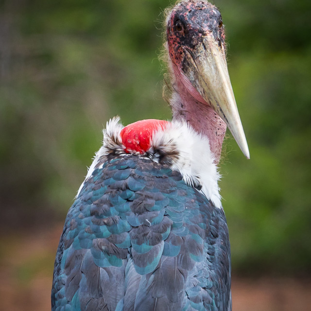 """""""The marabou stork (Leptoptilos crumenifer)"""" stock image"""
