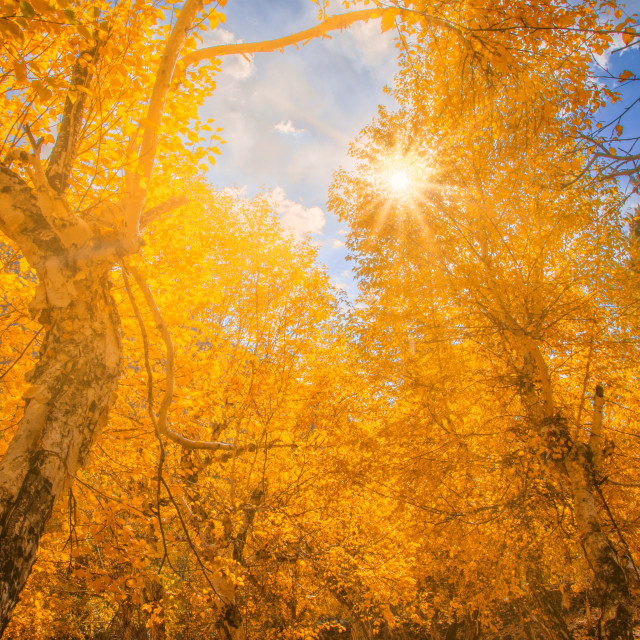 """Autumn sun shining through a majestic tree"" stock image"