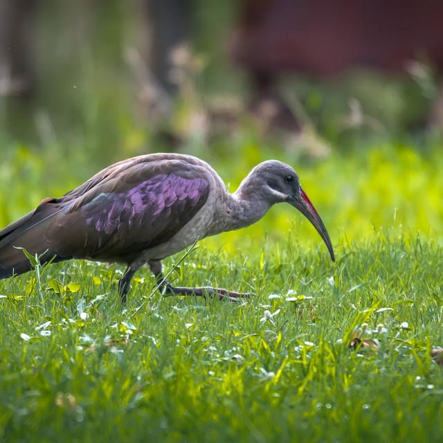 """""""Hadeda Ibis (Bostrychia hagedash)"""" stock image"""