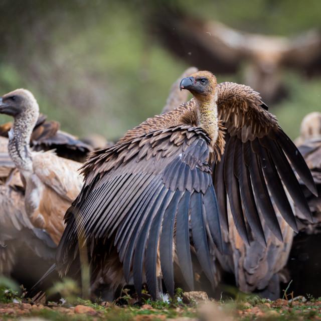 """White backed vulture (Gyps Africanus)"" stock image"