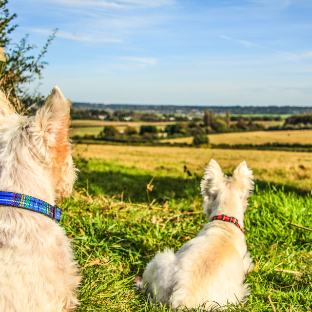 """Westies Waiting"" stock image"