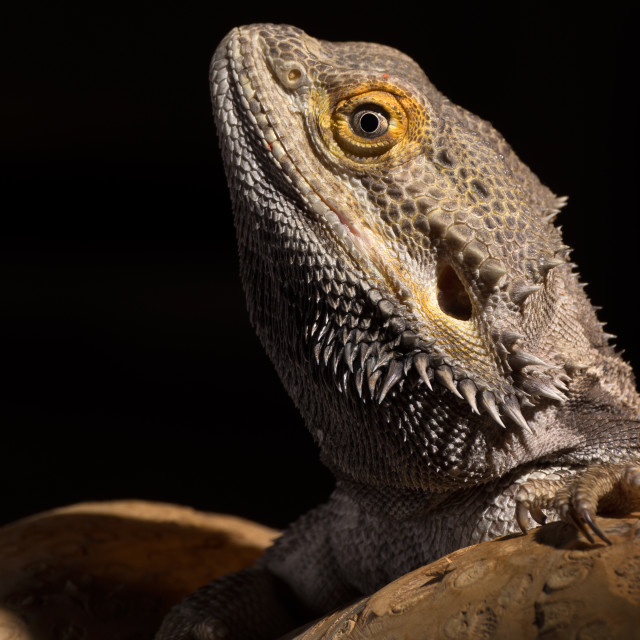 """""""Adult male bearded dragon"""" stock image"""