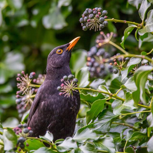 """Blackbird Feeding"" stock image"