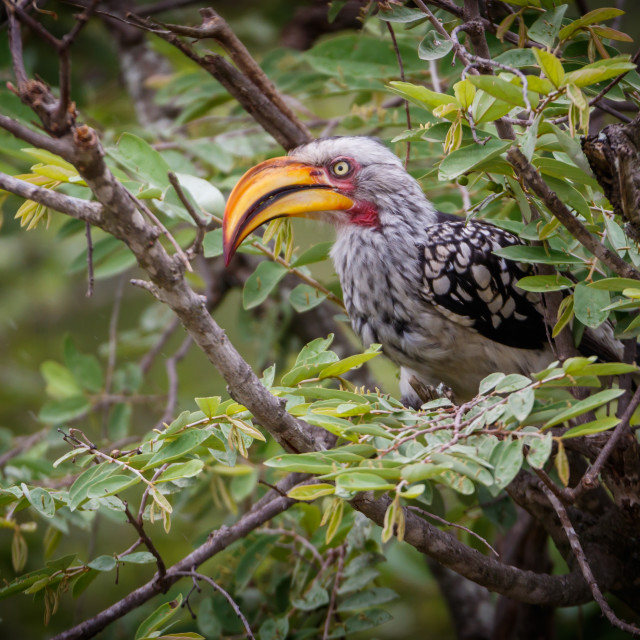 """Eastern Yellow-billed Hornbill"" stock image"