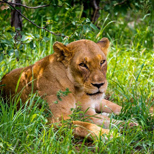 """""""The lion (Panthera leo) female"""" stock image"""
