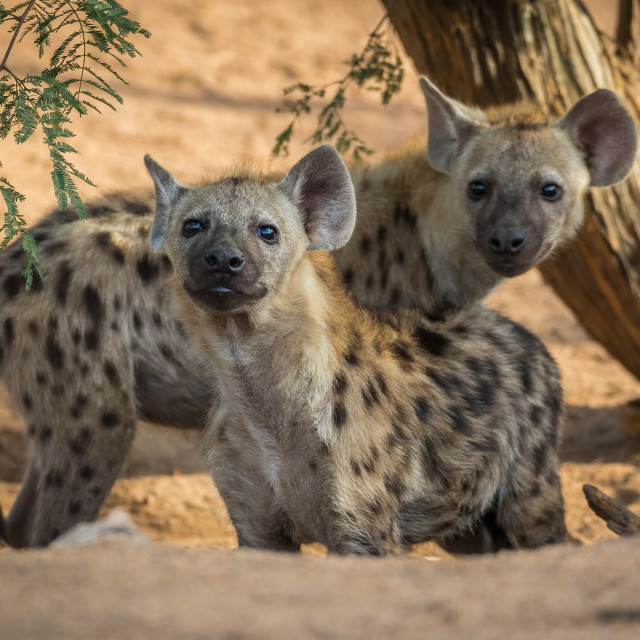 """The spotted hyena (Crocuta crocuta) younger"" stock image"