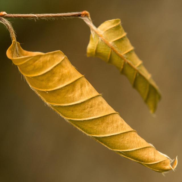 """Curled Autumn Leaf"" stock image"