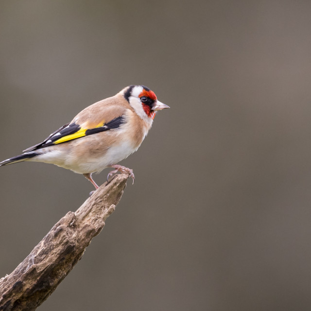 """Goldfinch on a Branch"" stock image"
