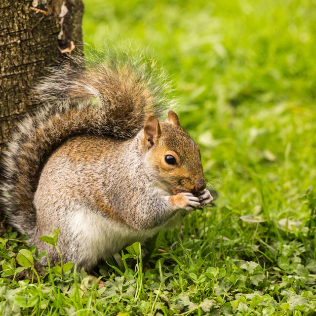 """Grey Squirrel"" stock image"