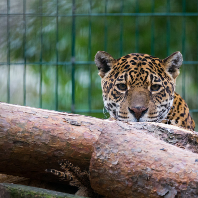 """Captive Jaguar"" stock image"