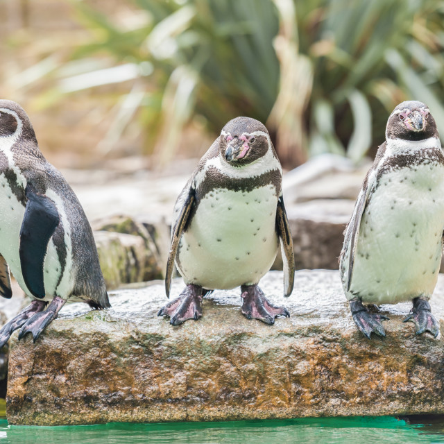 """Humboldt Penguins"" stock image"