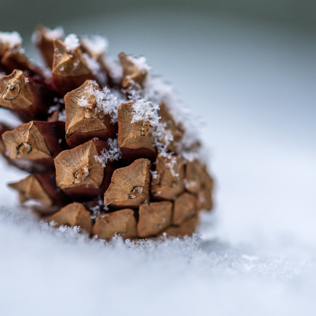 """pine cone on snow."" stock image"