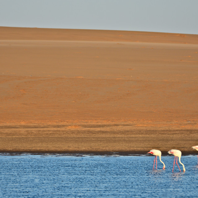 """Flamingos and Dunes"" stock image"