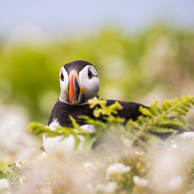 """Puffin at Rest"" stock image"