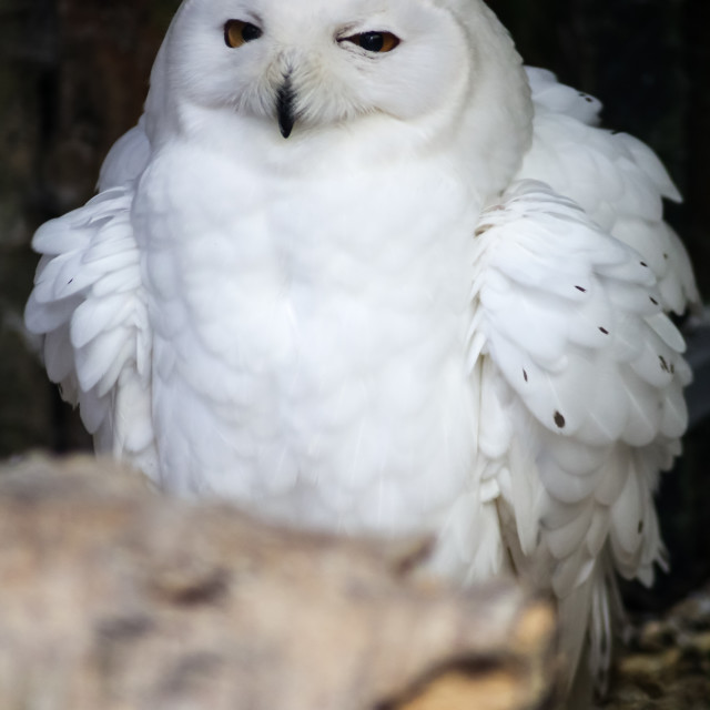 """Snowy Owl Male"" stock image"