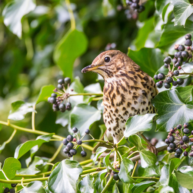 """Song Thrush on Ivy"" stock image"