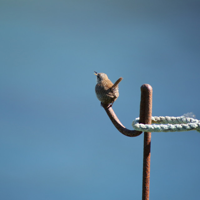 """Singing Wren"" stock image"