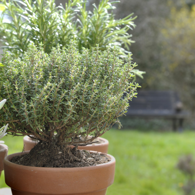 """""""thyme potted in a garden"""" stock image"""