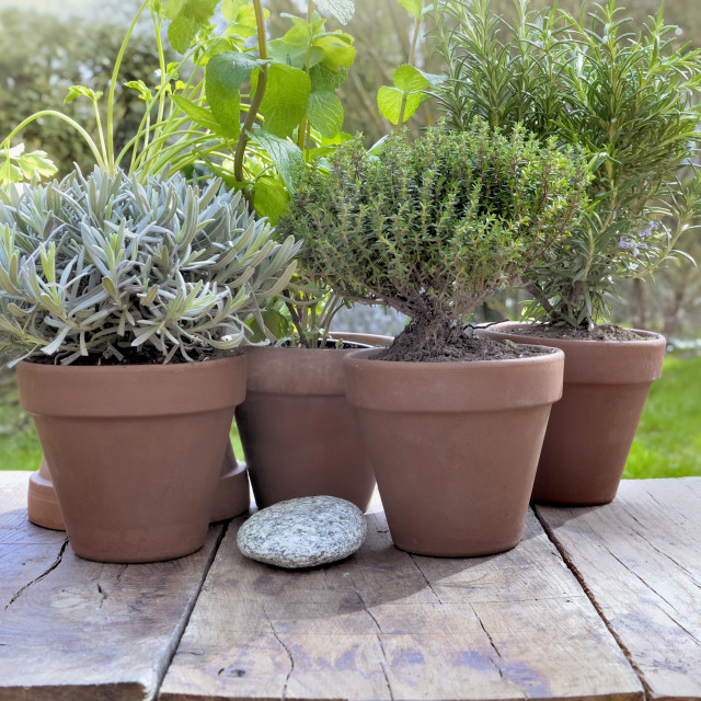 """""""aromatic herbs potted in garden"""" stock image"""