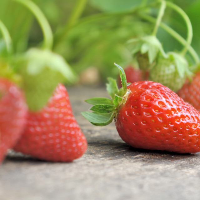 """""""fresh and ripe strawberry in garden"""" stock image"""
