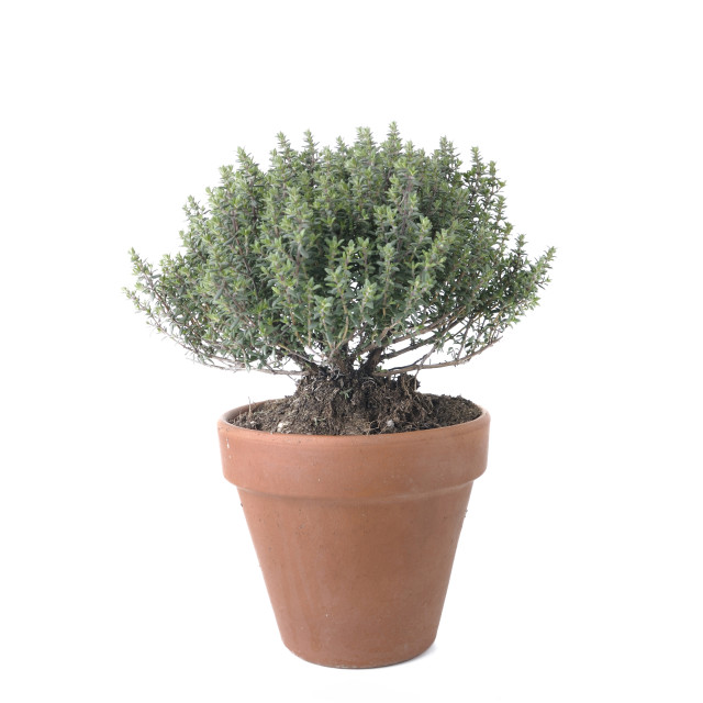 """""""thyme potted isolated on white"""" stock image"""