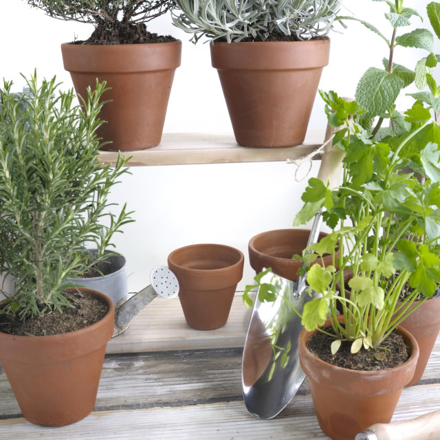 """""""aromatic herbs potted on a garden table"""" stock image"""