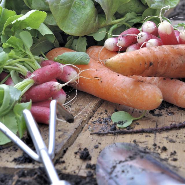 """organic vegetables harvesting"" stock image"