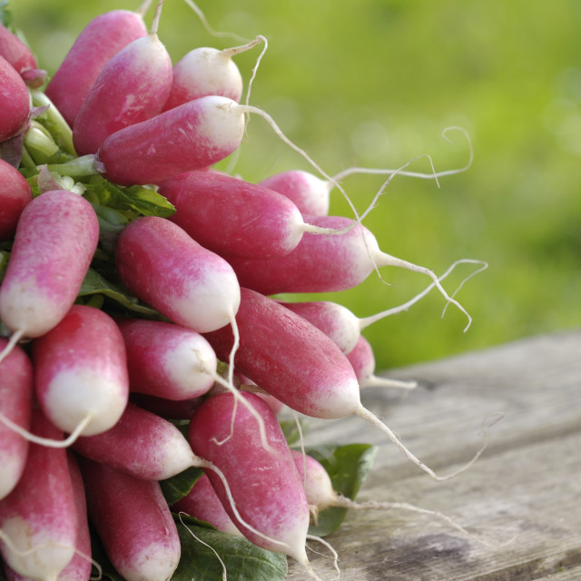 """""""fresh radishes in a garden"""" stock image"""