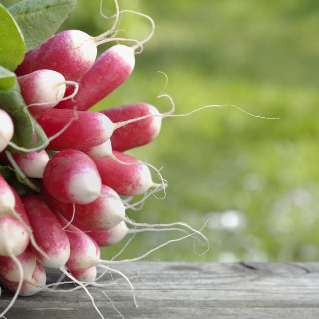 """""""fresh radish in garden"""" stock image"""