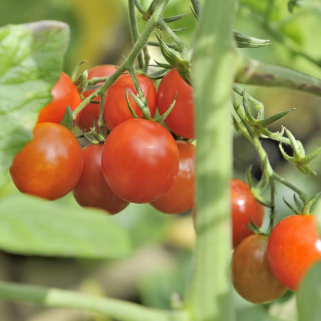 """fresh ripe tomatoes in garden"" stock image"