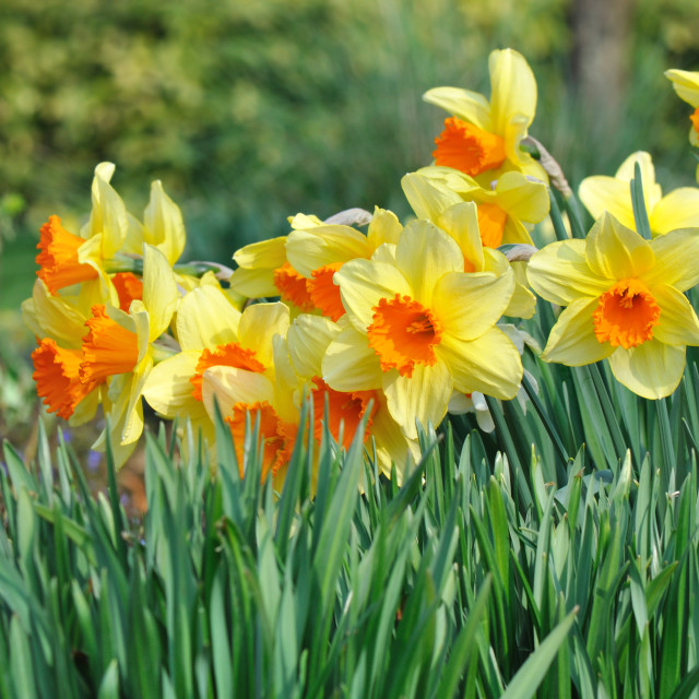"""""""daffodils in a flowerbed"""" stock image"""