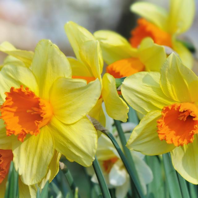 """beautiful petal of daffodils"" stock image"