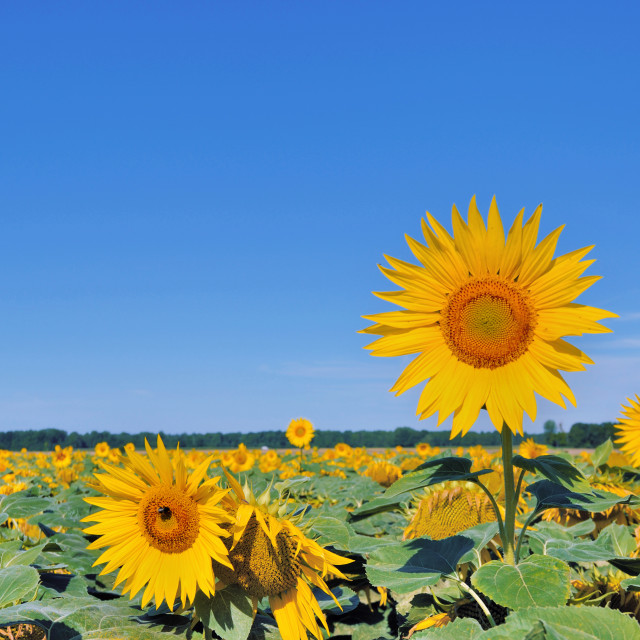 """""""sunflower higher than the others"""" stock image"""