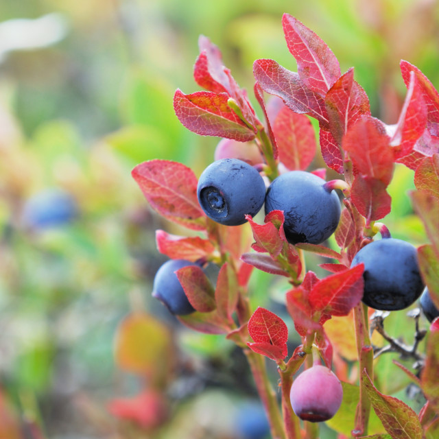 """""""esh blueberries in red foliage"""" stock image"""