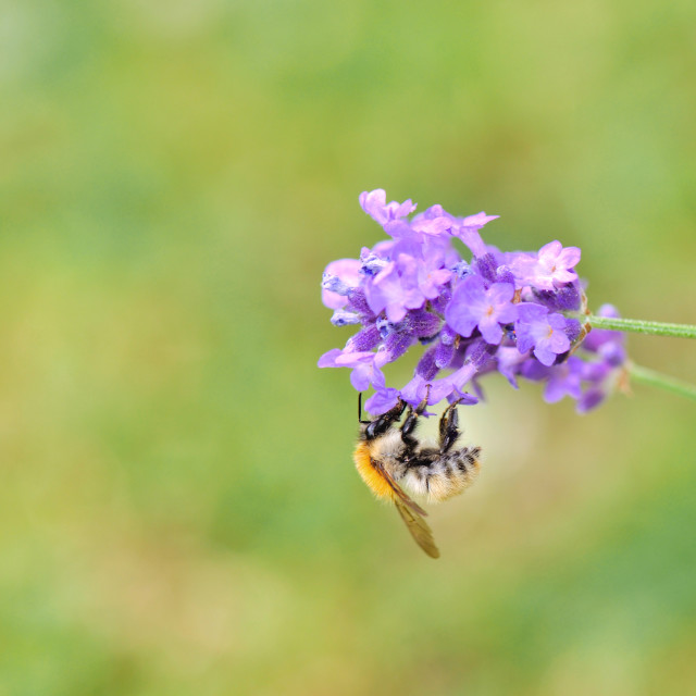 """""""Bumblebee gathering a flower"""" stock image"""