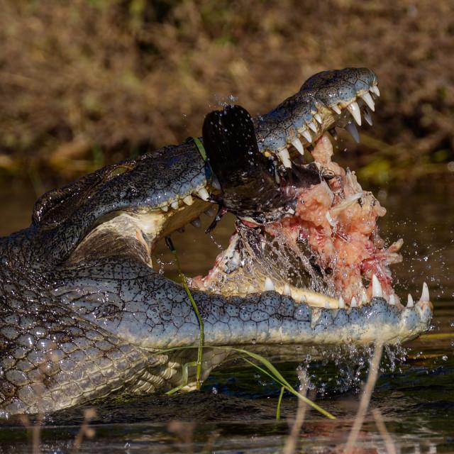 """Nile Crocodile [Crocodylus niloticus]"" stock image"