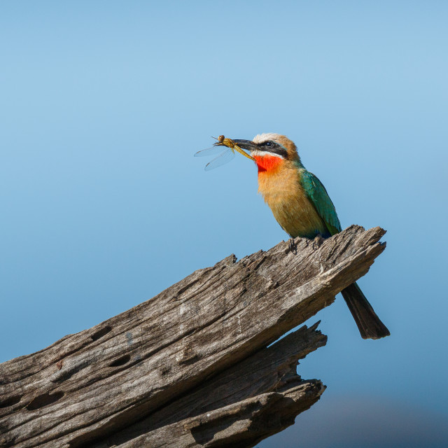 """""""white-fronted bee-eater"""" stock image"""
